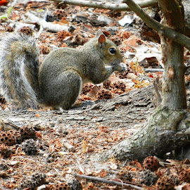 Squirrel Eating by Tree by Kathy Rose Willis - Animals Other Mammals ( florida, nature up close, seeds, brown, gray, tree trunk, squirrel )