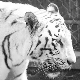 White Fighter by Navid Cool - Animals Lions, Tigers & Big Cats ( canon, tiger, forest, morning, daylight,  )