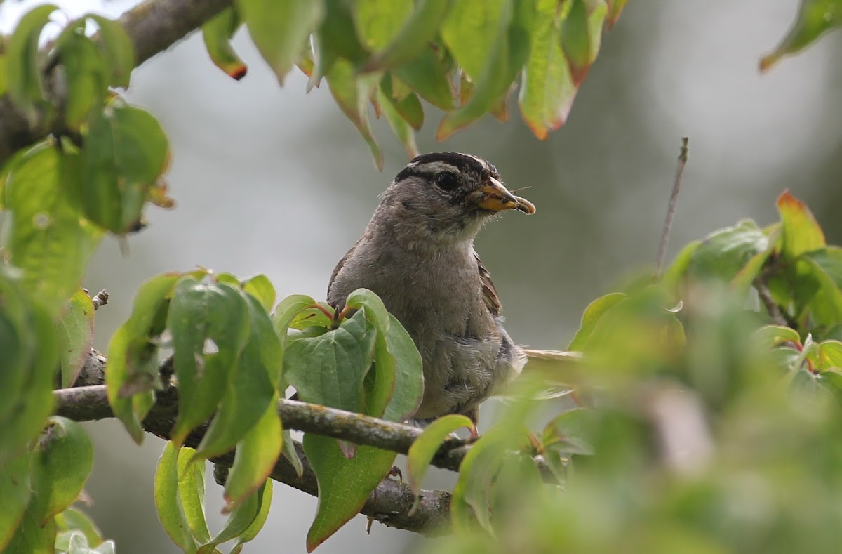White-crowned Sparrow with food