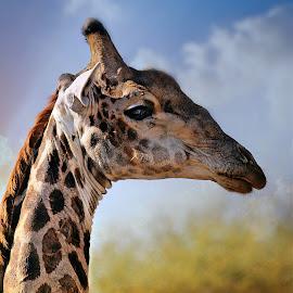 Giraffe Portrait by Pieter J de Villiers - Animals Other ( mammals, limpopo, animals, giraffe, south africa, portrait, mapungubwe game reserve )