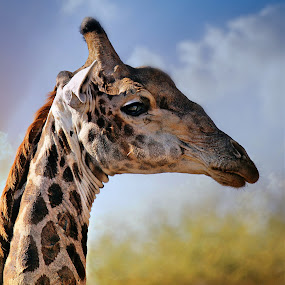 Giraffe Portrait by Pieter J de Villiers - Animals Other ( mammals, limpopo, animals, giraffe, south africa, portrait, mapungubwe game reserve,  )