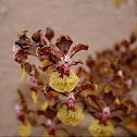 Oncidium kaizumic