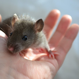 Baby Rat by Laura Viarisio - Novices Only Pets ( rat wild cute baby )