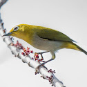 Lowland White-eye