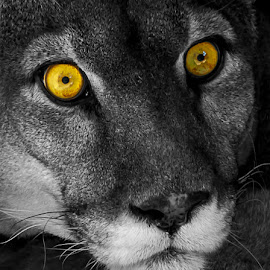 The Stare down by Terri Anderson - Animals Lions, Tigers & Big Cats (  )