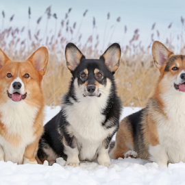 Winter portrait by Mia Ikonen - Animals - Dogs Portraits ( obedient, funny, pembroke welsh corgi, finland, pack )