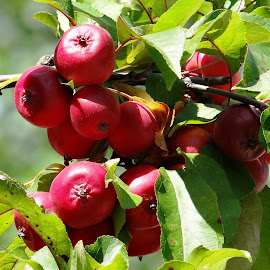 red fruits by Dubravka Penzić - Nature Up Close Gardens & Produce ( red, green )