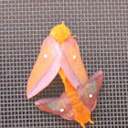 Orange-tipped Oakworm Moth