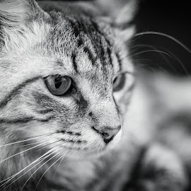 The Stare by Sean Stevens - Animals - Cats Portraits ( kitten, cat, black and white )