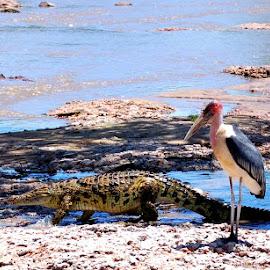 Marabou's Crocodile by DJ Cockburn - Animals Reptiles ( grassland, savannah, grumeti, leptoptilus crumeniferus, serengeti, marabou stork, nile crocodile, plains, africa, tanzania, crocodylus niloticus, river )