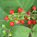 coralito - pigeonberry - bloodberry