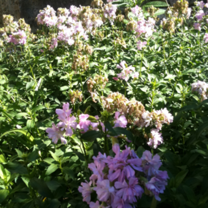 Common Flowering soapwort