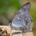 One-spotted Prepona  Butterfly