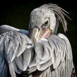 pelikan  by Dunja Kolar - Animals Birds ( pelikan )