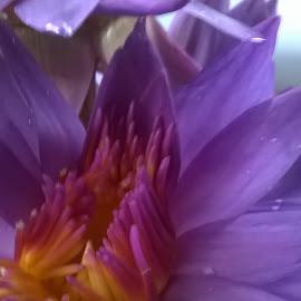 Dew on Petals by Sanduni Perera - Novices Only Flowers & Plants ( lotus flower )