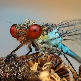Red by Ondrej Pakan - Animals Insects & Spiders ( macro, damselfly, dew, dew drops, dragonfly, insect )