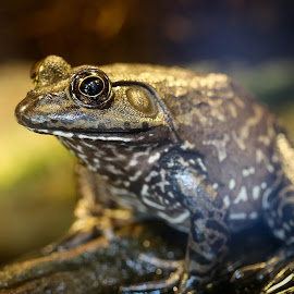 Eye spot you by Jared Lantzman - Animals Amphibians ( spotted, patient, sitting, frog, waiting, amphibian, eye witness, animal, eye,  )