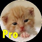 Chamar Gato Pro For PC / Windows / MAC