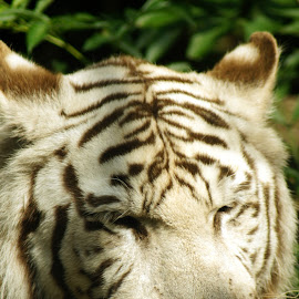 White tiger 3 by Anita Berghoef - Animals Other Mammals ( big cat, white tiger, nature, zoo, tiger, white, nature up close, mammal, animal )