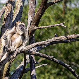 Gibbon? by Jonathan Hall - Animals Other Mammals ( ireland, zoo, gibbon, wildlife, fota wildlife, nikon, monkey )