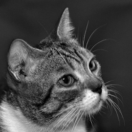 by Cacang Effendi - Black & White Animals ( cats, cattery, kitten.chandra, animal )
