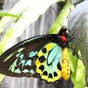 Goliath Birdwing Butterfly (male)