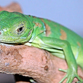 Chinese Water Dragon by Scott Staley - Animals Reptiles ( lizard, nature, reptile, natural, water dragon, animal )