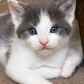 Grey and White Kitten by Martin Green - Animals - Cats Kittens ( kitten, white, blue eyes, grey, shorthair )