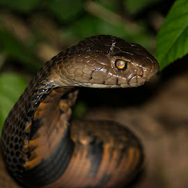 Which is my best side? by Stuart Skene - Animals Reptiles ( snake, nature, spitting, nikon, cobra )