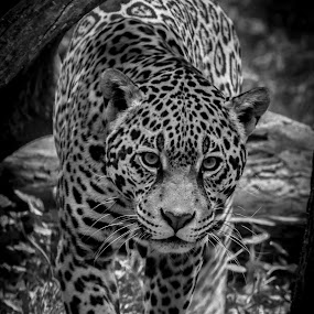 Jaguar by Ron Meyers - Black & White Animals