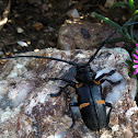 Zographus plicaticollis