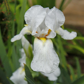 White Iris by Judy Patching - Novices Only Flowers & Plants ( beautiful, white, iris, bloom, garden )