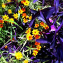 Purple Queen & coreopsis