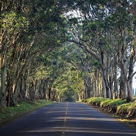 Tree Tunnel Road (Maluhia Road), Kauai by James Betts - Landscapes Travel