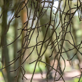 Twigs by Simon Forster - Nature Up Close Trees & Bushes ( twigs, forest, close up, bokeh, branches )