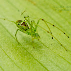 Long Jawed spider