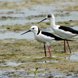 young and old by Barrock Adji - Novices Only Wildlife ( bird, shorebirds, white-headed, stilt, indonesia, java, wonorejo, birds, mangrove, surabaya, jawa )