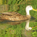 Florida Duck/Mottled Duck