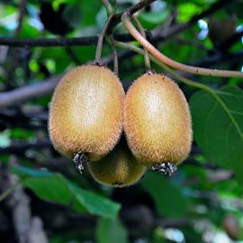 Kiwis on the tree by Cengiz Tasci - Nature Up Close Other plants ( kiwi, fruits, trees, garden, kiwifruit )