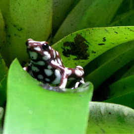 by Denise Dale - Animals Amphibians ( poisonous, spotted, frog, leaves, small )