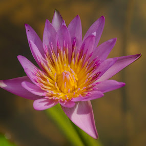 by Neelakantan Iyer - Flowers Single Flower (  )