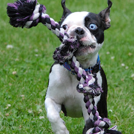by Samantha Blankenship - Animals - Dogs Playing ( rope, boston, terrior, snores, boston terrior, snorelax )