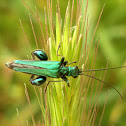 Thick-Legged Flower Beetle ♂