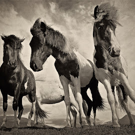 Icelandic horses B&W by Kristján Karlsson - Animals Horses ( black and white, animal )