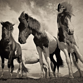 Icelandic horses B&W by Kristján Karlsson - Animals Horses ( black and white, animal,  )