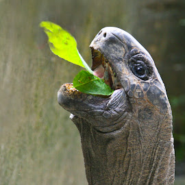 Yummy by Mike O'Connor - Animals Reptiles ( tortoise, gobble, mouth, eating, reptile,  )