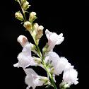 Linaria nivea
