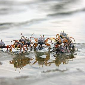 Our territory by Mohd Rashidin Ideres - Animals Sea Creatures ( selangor, bagan lalang crab, malaysia, crab, bagan lalang )