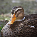 Ánade Real (Hembra) / Mallard (Female)