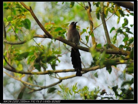 樹鵲(2008-04-05台北)0085